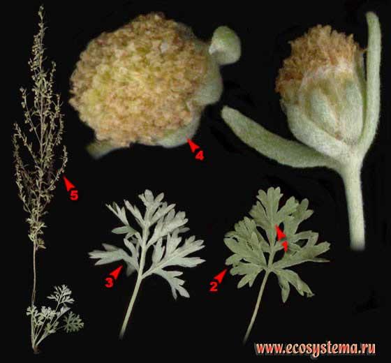 Полынь обыкновенная, или Чернобыльник — Artemisia vulgaris L.