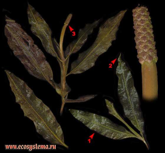 Рдест блестящий — Potamogeton lucens L.