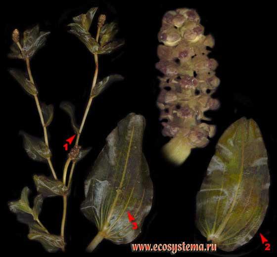 Рдест пронзённолистный — Potamogeton perfoliatus L.