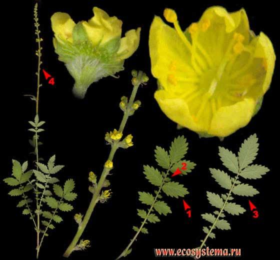 Репешок обыкновенный —Agrimonia eupatoria L.