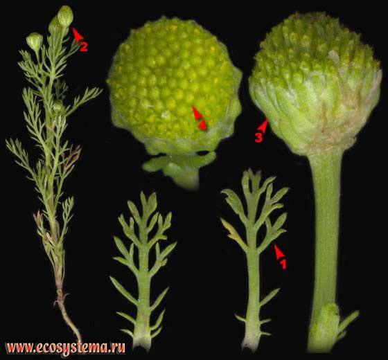 Ромашка пахучая — Chamomilla suaveolens (Pursh) Rydb. (Matricaria suaveolens (Pursh) Buch., Matricaria matricarioides (Less.) Porter, Matricaria discoidea DC.)