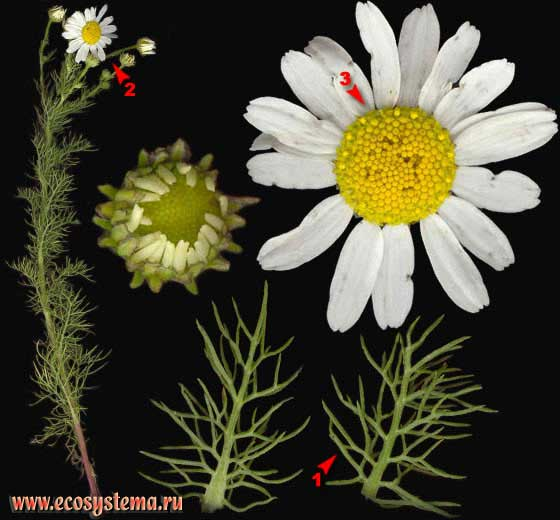 Ромашник непахучий — Matricaria perforata Merat