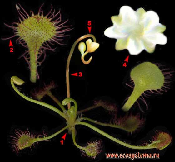 Росянка круглолистная — Drosera rotundifolia L.