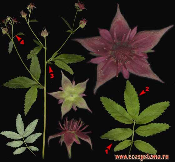Сабельник болотный —Comarum palustre L.