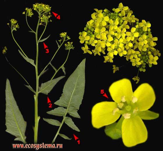 Свербига восточная —Bunias orientalis L.
