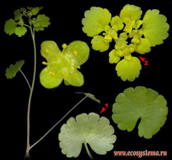 Селезёночник очереднолистный — Chrysosplenium alternifolium L.