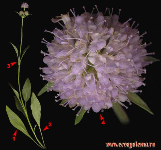 Сивец луговой —Succisa pratensis Moench (Succisa praemorsa (Gilib.) Aschers.)