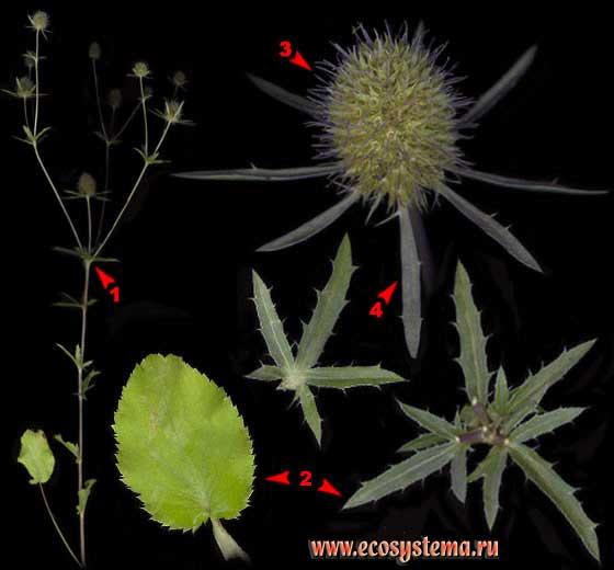 Синеголовник плосколистный — Eryngium planum L.