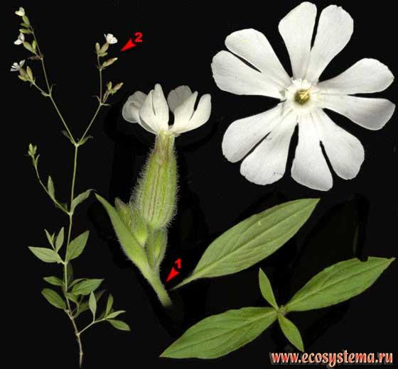 Смолёвка белая, или дрёма —Silene alba (Mill.) E. H. L. Krause (Melandrium album (Mill.) Garcke)