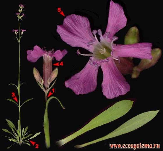 Смолка обыкновенная —Steris viscaria (L.) Rafin. (Lychnis viscaria L., Viscaria vulgaris Bernh.,