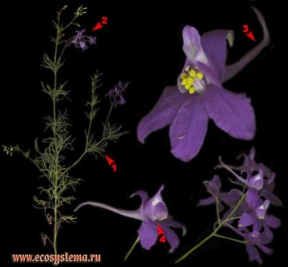 Сокирки полевые — Consolida regalis S. F. Gray (Живокость полевая — Delphinium consolida L.)
