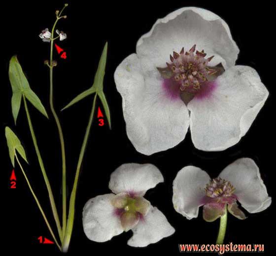 Стрелолист обыкновенный — Sagittaria sagittifolia L.