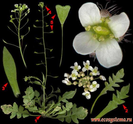 Сумочник пастуший, или Пастушья сумка —Capsella bursa-pastoris (L.) Medik.