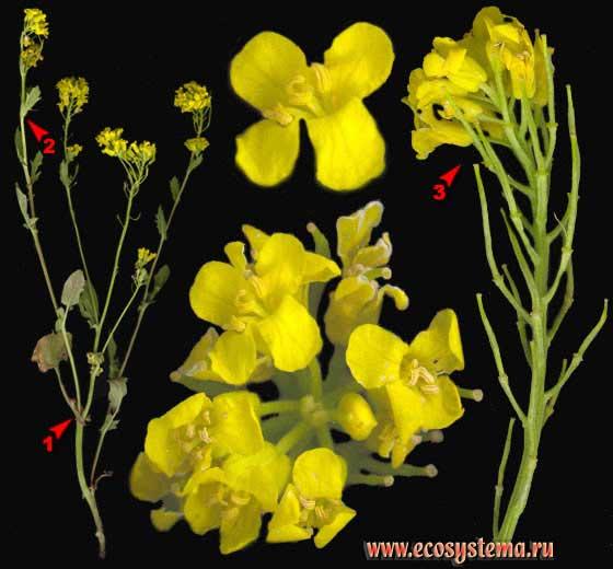 Сурепица, или сурепка обыкновенная — Barbarea vulgaris R. Br.
