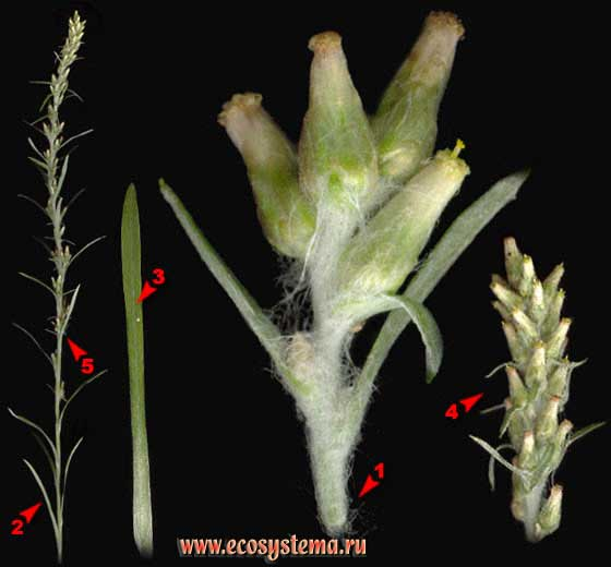 Сушеница лесная — Gnaphalium sylvaticum L. (Omalotheca sylvatica (L.) sch. Bip. et F. W. Schultz)