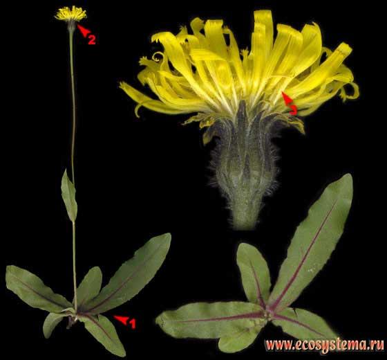Тромсдорфия пятнистая, или крапчатая — Trommsdorffia maculata (L.) Bernh. (Achyrophorus maculatus (L.) Scop.)