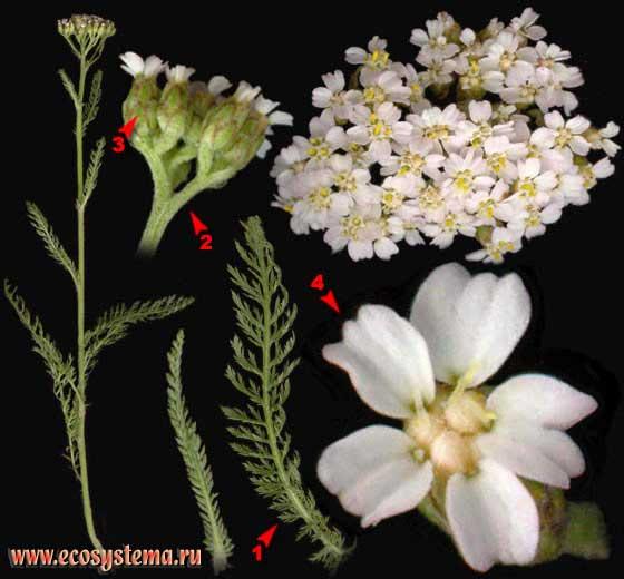 Тысячелистник обыкновенный — Achillea millefolium L.