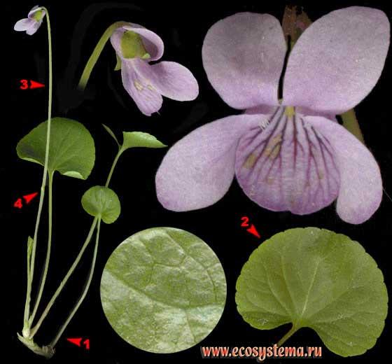 Фиалка болотная — Viola palustris L.