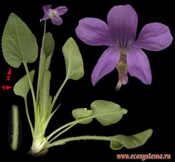 листовые водоросли ламинария отзывы
