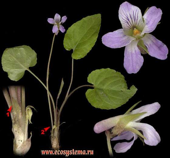 Фиалка удивительная — Viola mirabilis L.