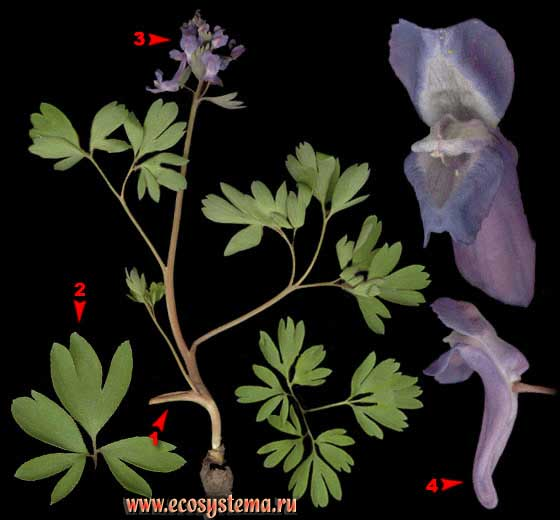 Хохлатка плотная — Corydalis solida (L.) Clairv. (Corydalis halleri Willd.)