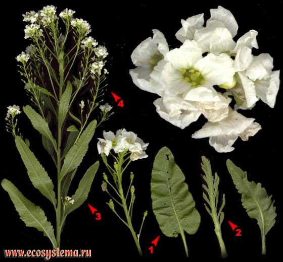 Хрен обыкновенный — Armoracia rusticana Gaertn., B. Mey. et Schreb.