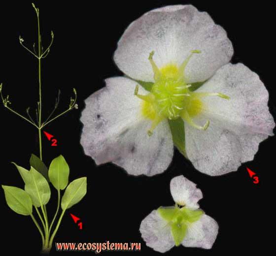 Частуха подорожниковая — Alisma plantago-aquatica L.