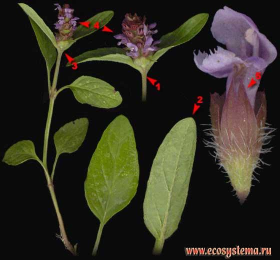 Черноголовка обыкновенная — Prunella vulgaris L.