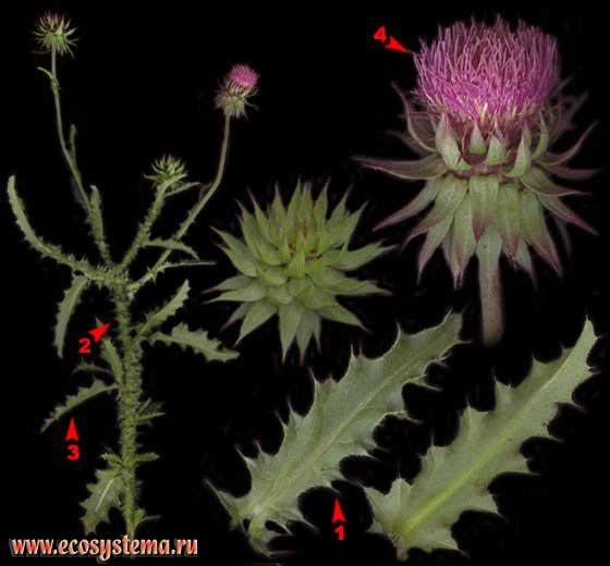 Чертополох поникший — Carduus nutans L. (Carduus thoermeri Weinm.)