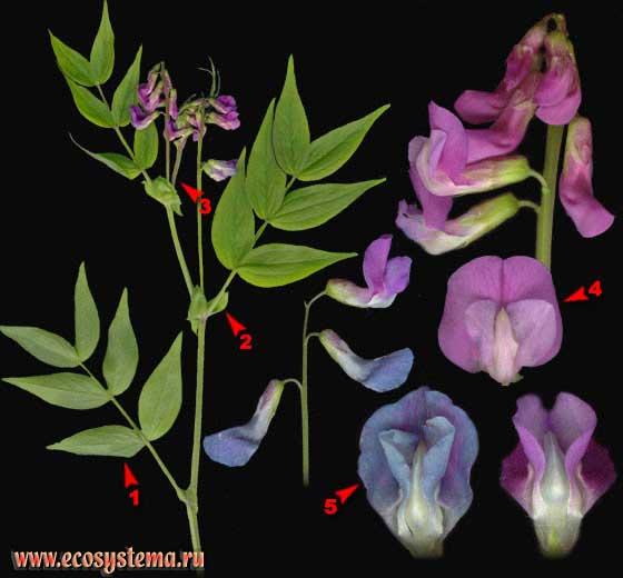 Чина весенняя, или Сочевичник весенний — Lathyrus vernus (L.) Bernh. (Orobus vernus L.)