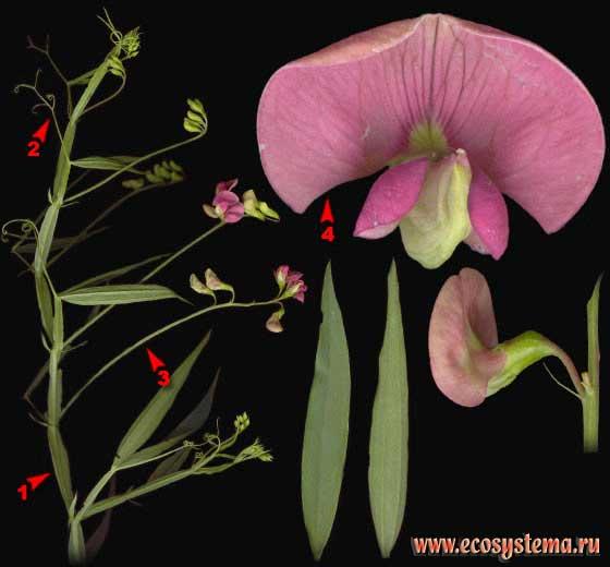 Чина лесная — Lathyrus sylvestris L.
