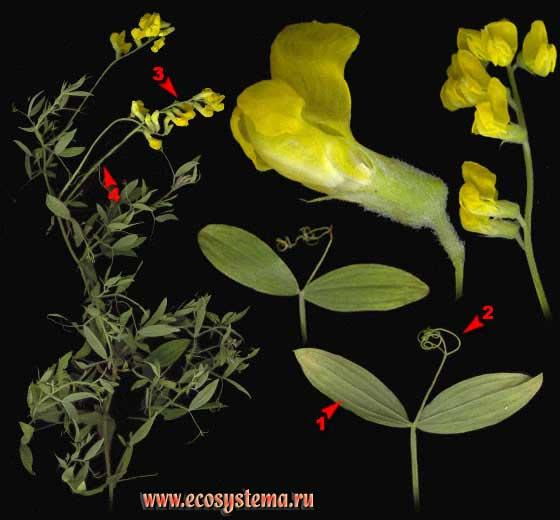 Чина луговая — Lathyrus pratensis L.