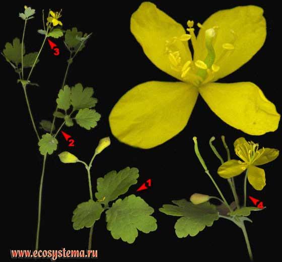 http://www.ecosystema.ru/08nature/flowers/217.jpg