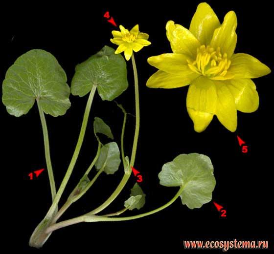 Чистяк весенний — Ficaria verna Huds.