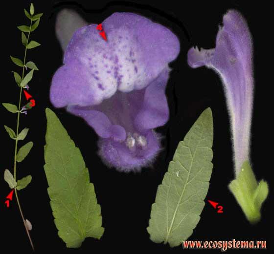 Шлемник обыкновенный — Scutellaria galericulata L.