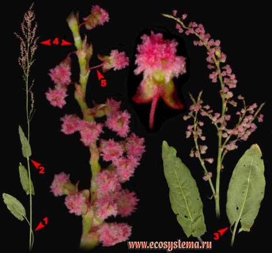 Щавель кислый — Rumex acetosa L.