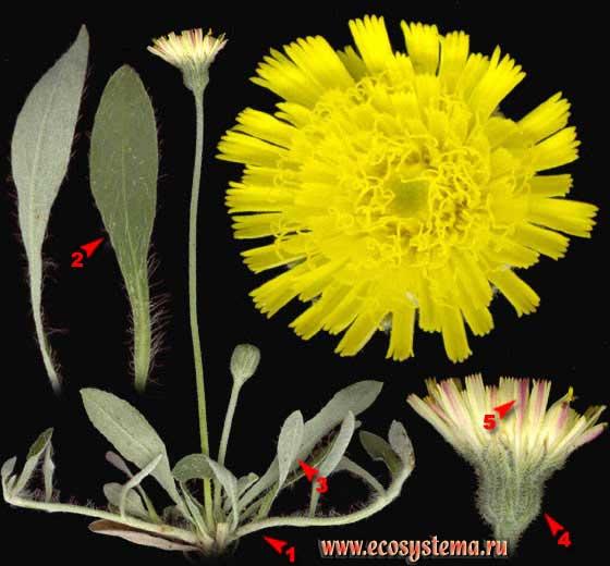 Ястребинка волосистая — Hieracium pilosella L.
