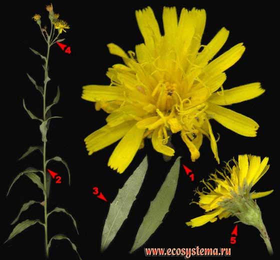Ястребинка зонтичная — Hieracium umbellatum L.