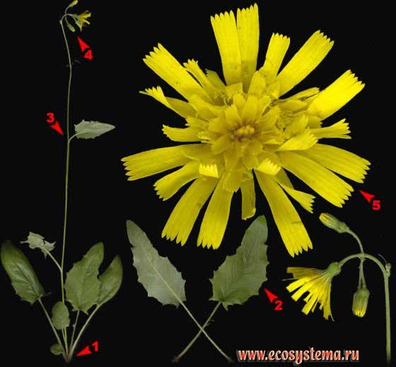 Ястребинка постенная — Hieracium murorum L.