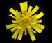 Ястребинка постенная - Hieracium murorum L.