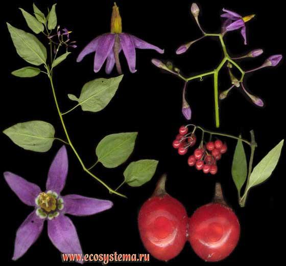 Паслён сладко-горький — Solanum dulcamara L.