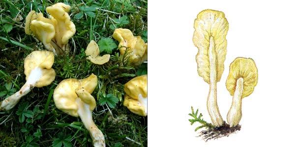 Спатулярия желтоватая, или лопаточка желтая, или лопаточка грибная - Spathularia flavida Fr.