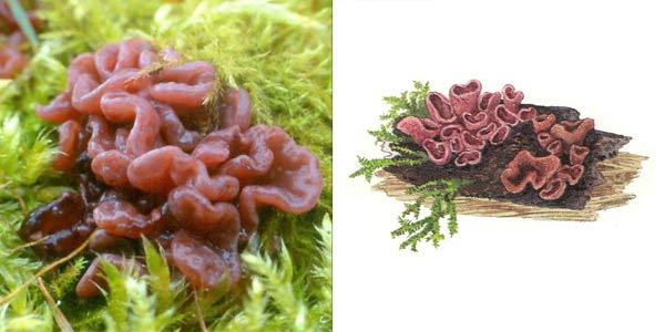 Корине мясная, или аскокорине мясная - Coryne sarcoides (S.F. Gray) Tul., или Ascocoryne sarcoides