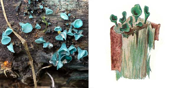 Хлороцибория сине-зеленая, или хлоросплениум сине-зеленый - Chlorociboria aeruginosa, или Chlorosplenium aeruginosum (S.F. Gray) Tul.