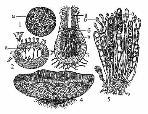 Типы плодовых тел аскомицетов