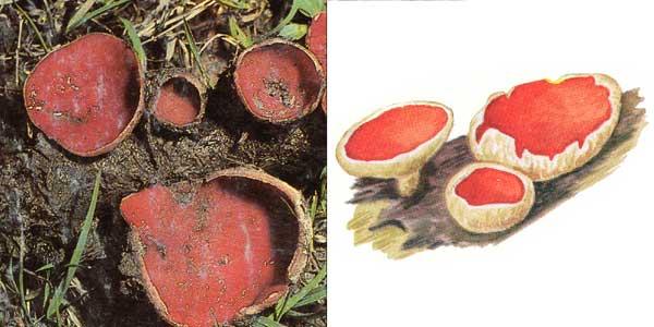 Саркосцифа ярко-красная - Sarcoscypha coccinea (Fr.) Lambotte