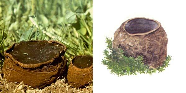 Саркосома шаровидная, или саркосома круглая - Sarcosoma globosum (Fr.) Caspary., или Bulgaria globosa