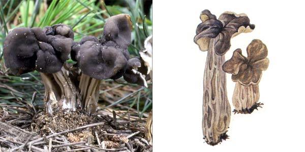 Лопастник ямчатый, или гельвелла ямчатая - Helvella lacunosa Fr.
