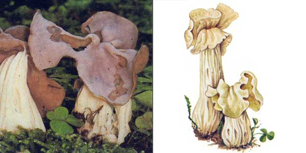 Лопастник курчавый, или гельвелла курчавая - Helvella crispa Fr.
