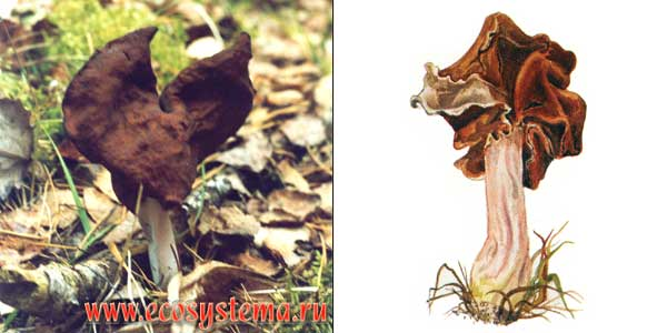 Строчок осенний, или лопастник осенний, или лопастник инфулоподобный, или гельвелла инфулоподобная, или гиромитра, или гельвелла инфула - Helvella infula (Fr.) Quel.